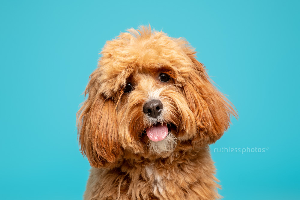 red cavoodle headshot with head tilt on blue backdrop