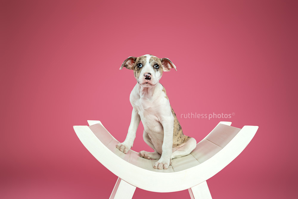 merle bull arab type puppy sitting on white curved bench against pink background