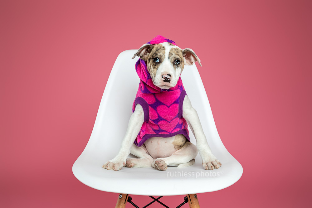 merle bull arab type puppy wearing hoodie sitting on white chair against pink background