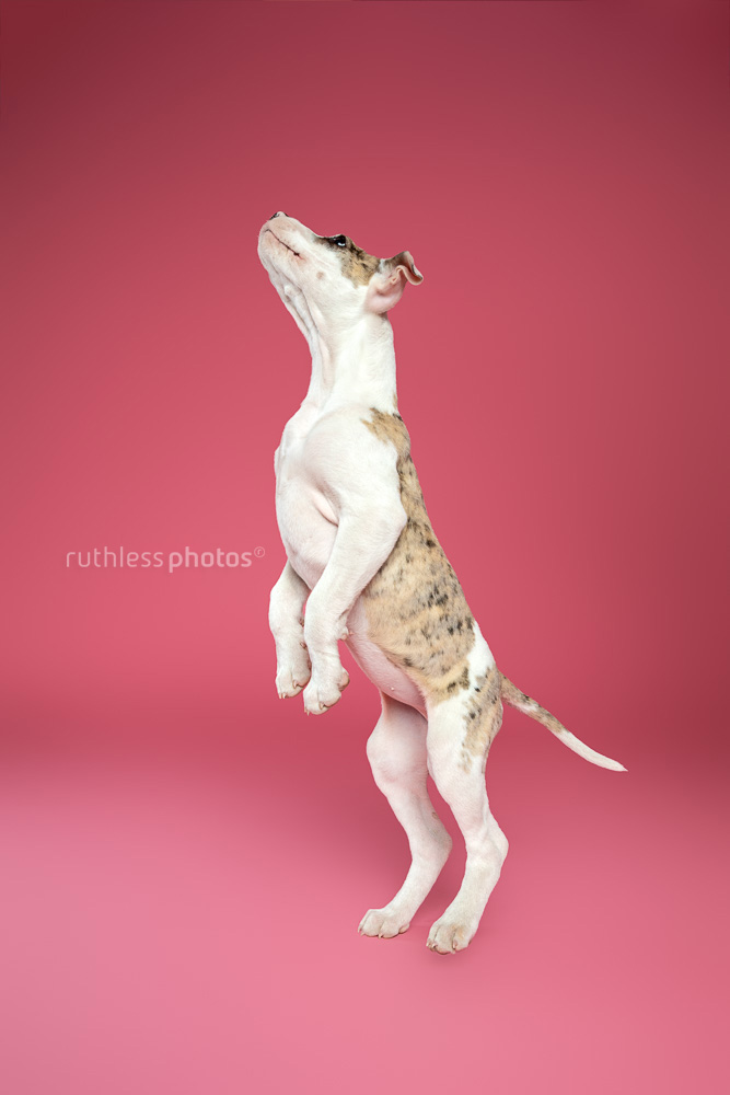 merle bull arab type puppy jumping against pink background