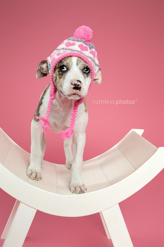 merle bull arab type puppy wearing pink beanie while standing on white curved bench against pink background