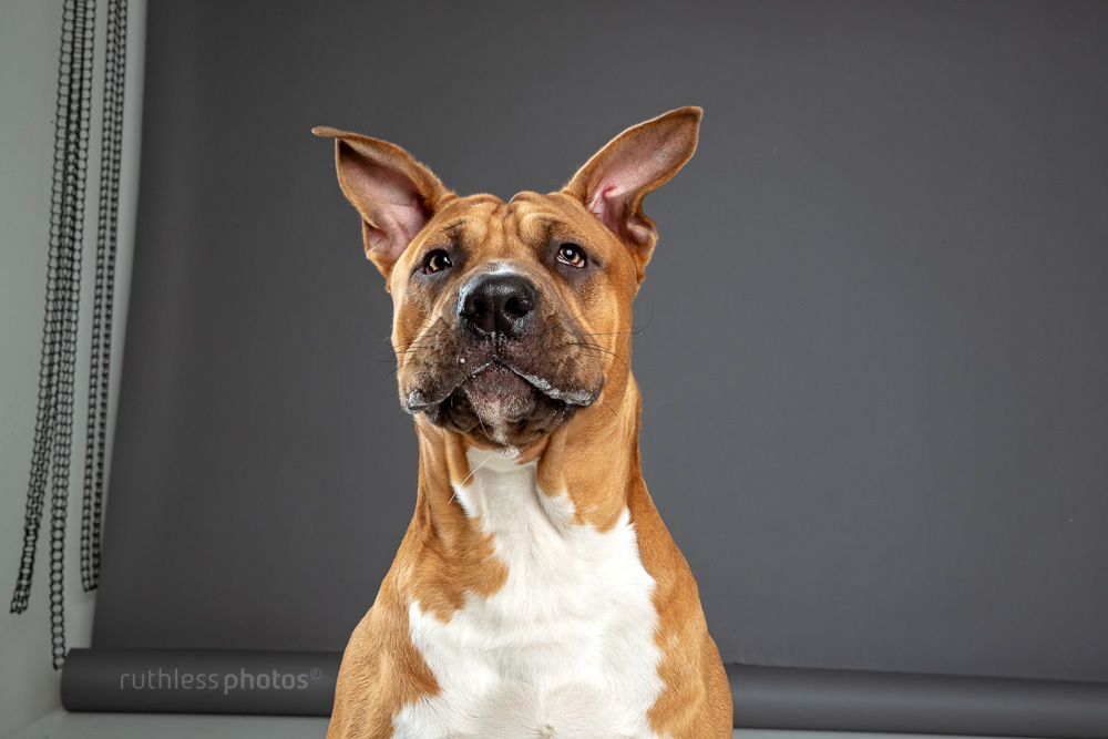 red pit bull mid bark in studio on grey background