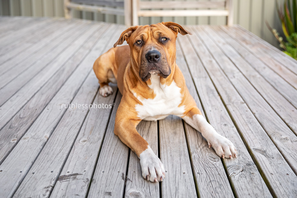 muscly red dog on wooden deck