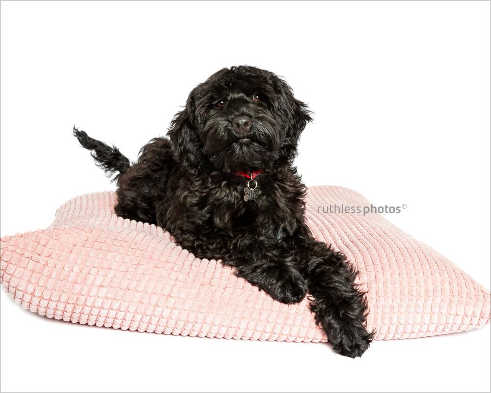 black tamaruke labradoodle puppy on pink cushion