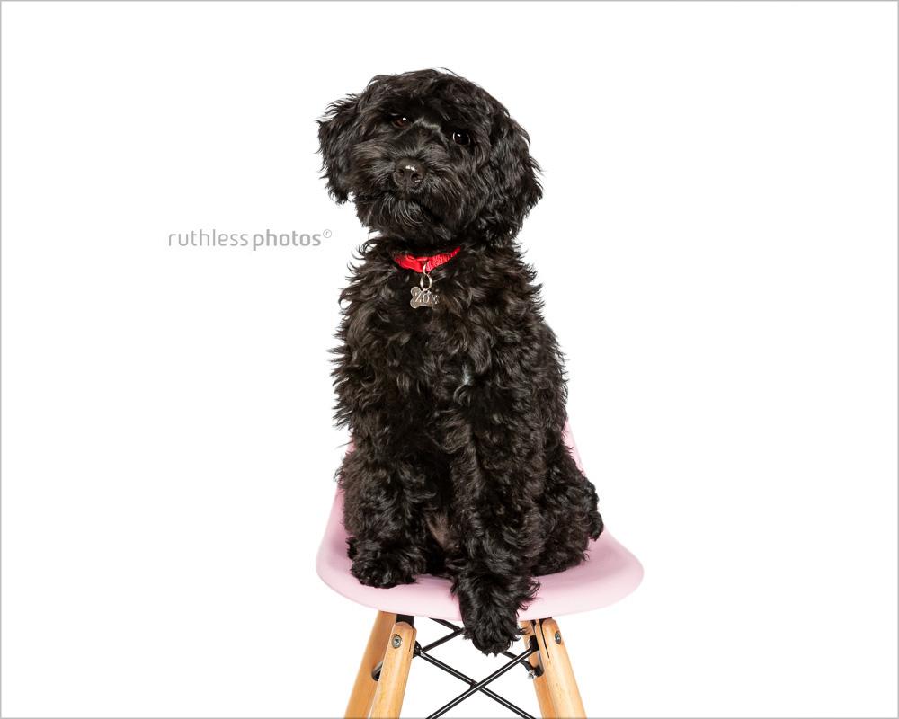 black tamaruke labradoodle puppy on pink chair
