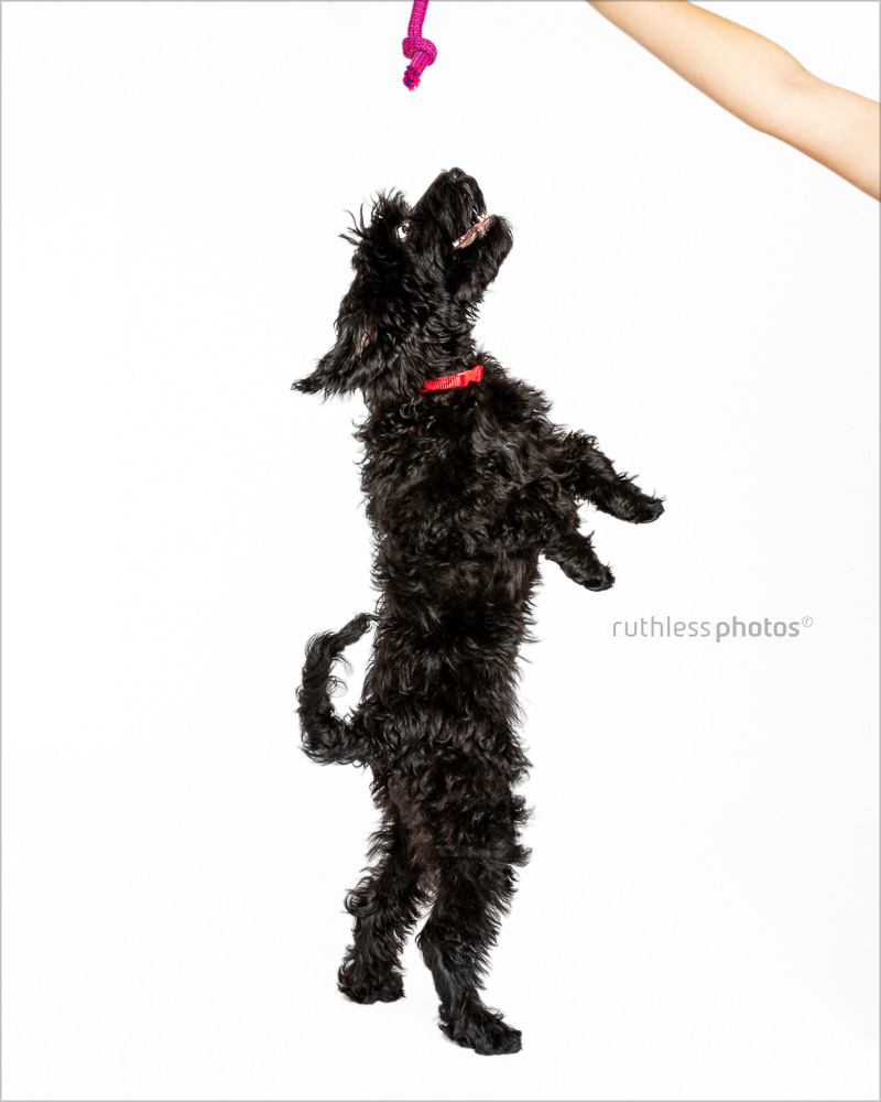 black tamaruke labradoodle puppy jumping for pink toy