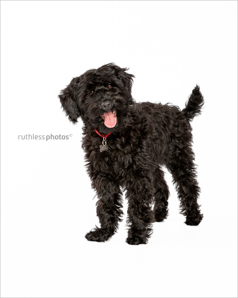 black tamaruke labradoodle puppy standing on white backdrop smiling