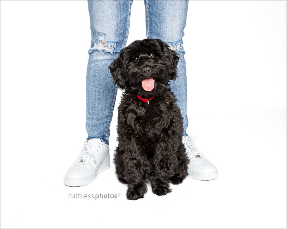 black tamaruke labradoodle puppy standing between owner's legs on white backdrop smiling
