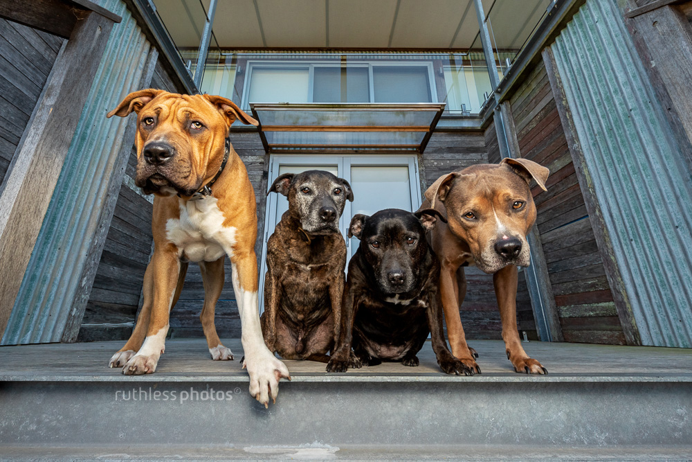 four pit bull type dogs standing on front step looking tough