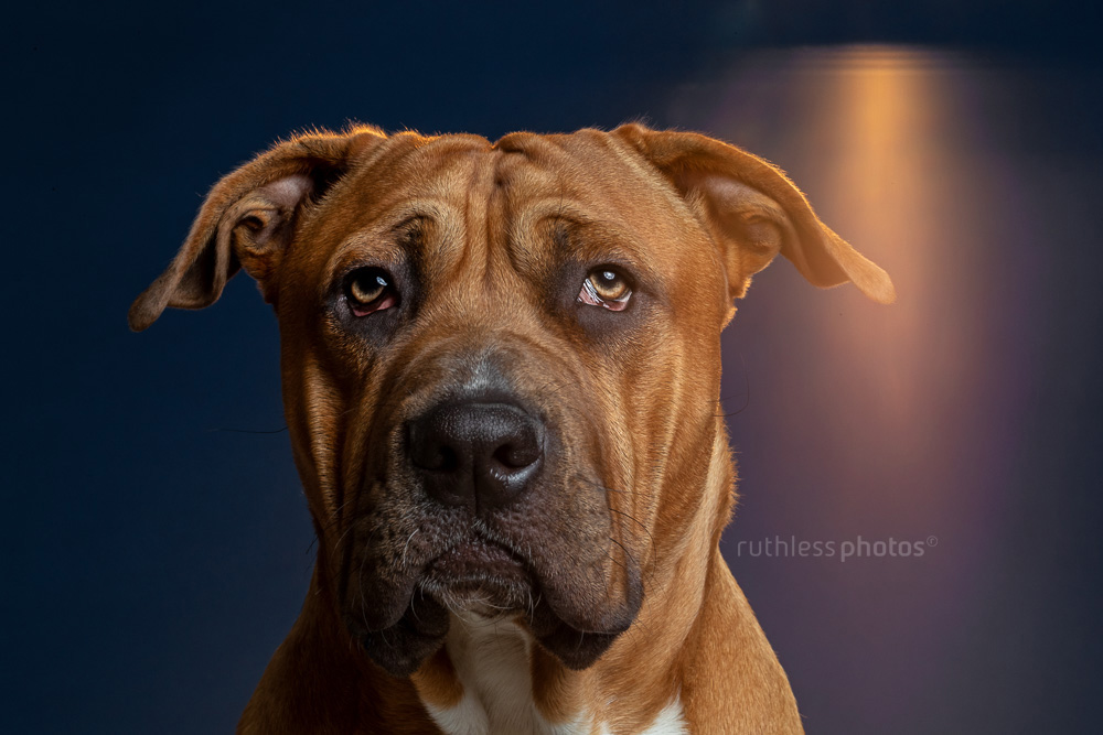 red pitbull type headshot with backlight in studio with navy background