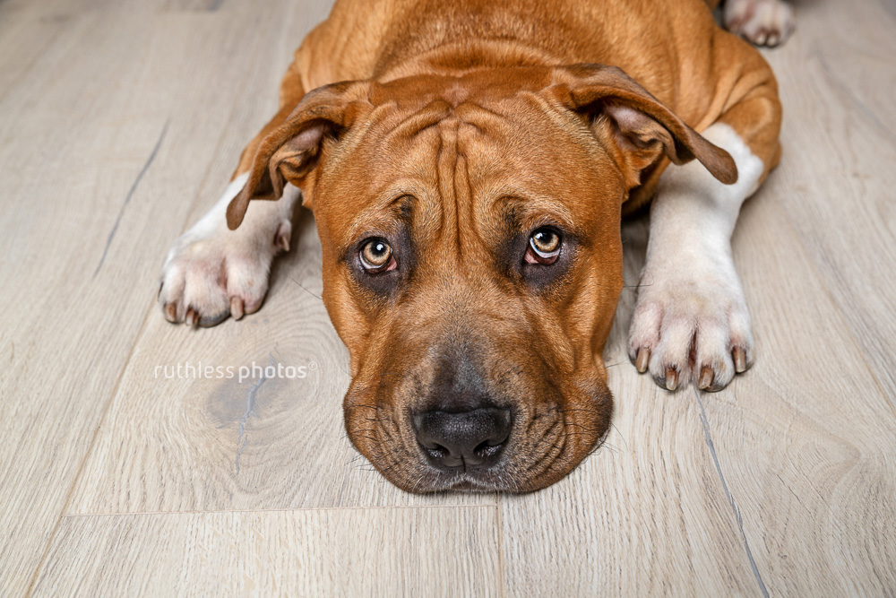 red staffy lying on wooden floor with concerned expression