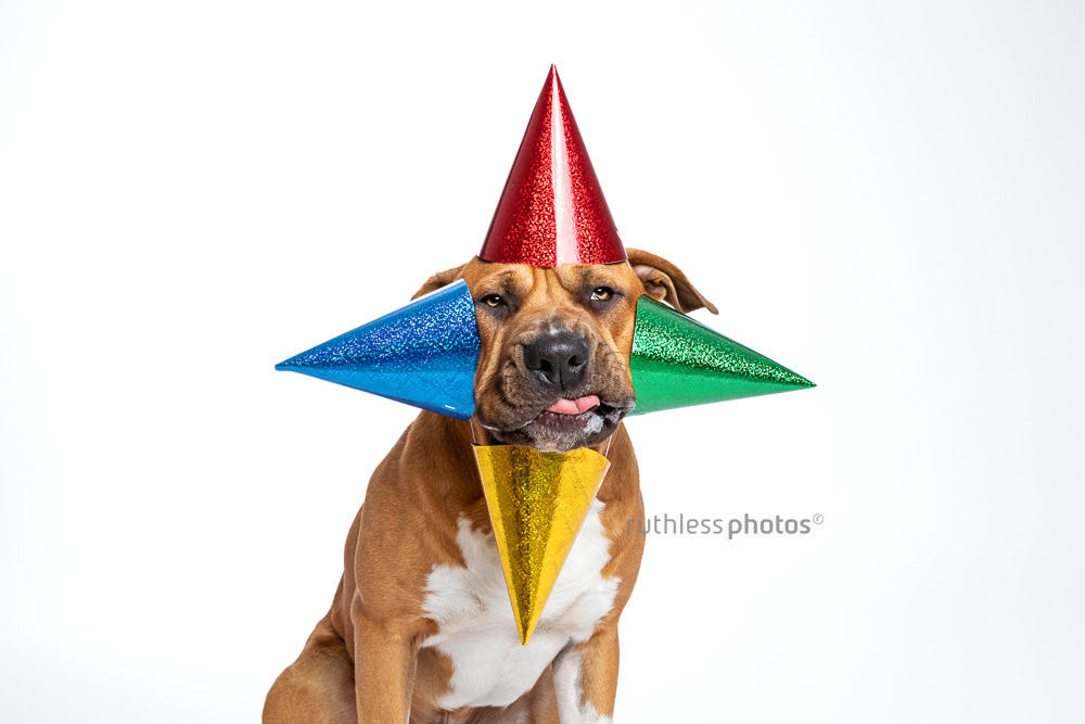 silly pitbull wearing four coloured party hats