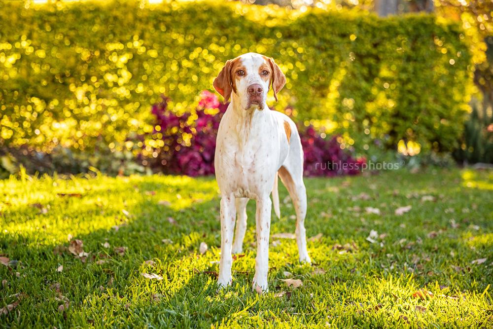english pointer dog standing in park backlit