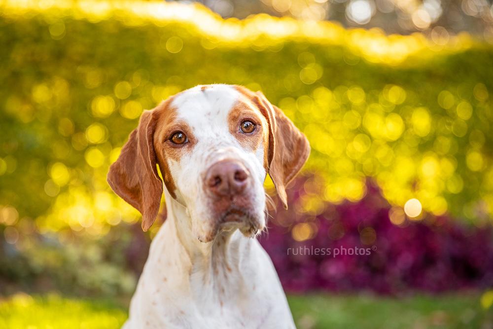 english pointer dog in park backlit headshot