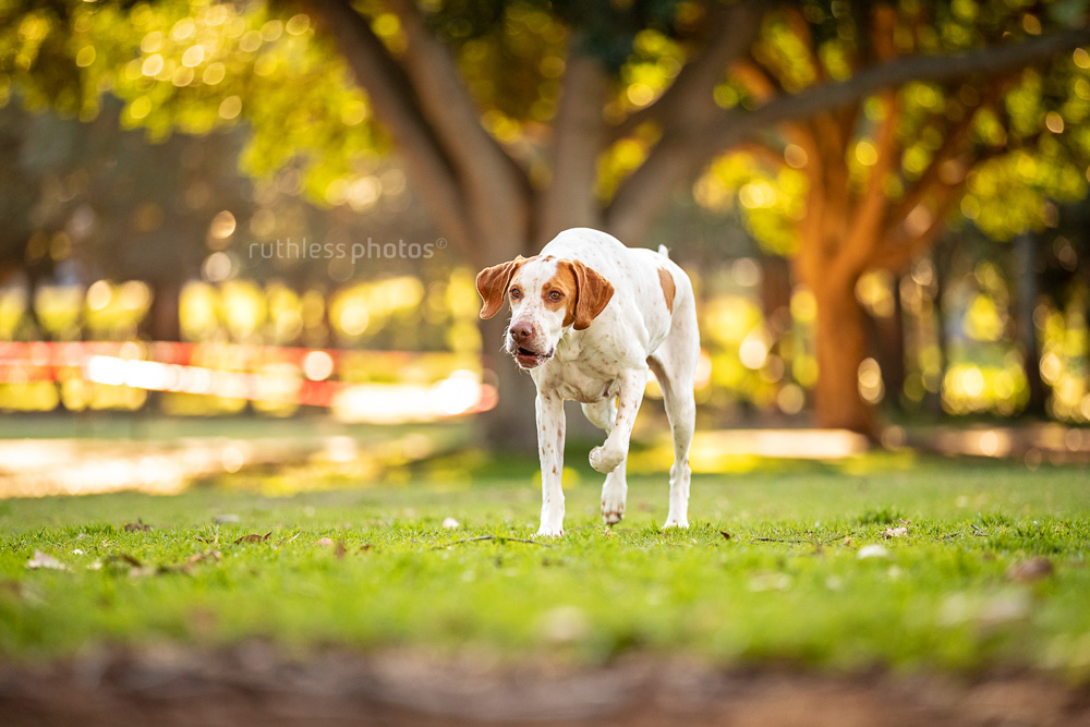 english pointer dog running in park