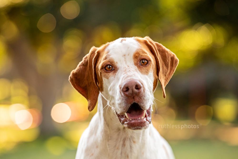 english pointer dog in park happy smiling headshot