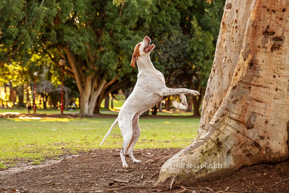 english pointer dog climbing tree