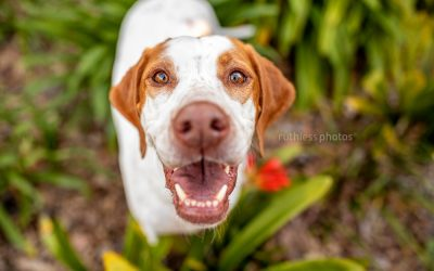 Stella the Pointer – Sydney Dog Photographer