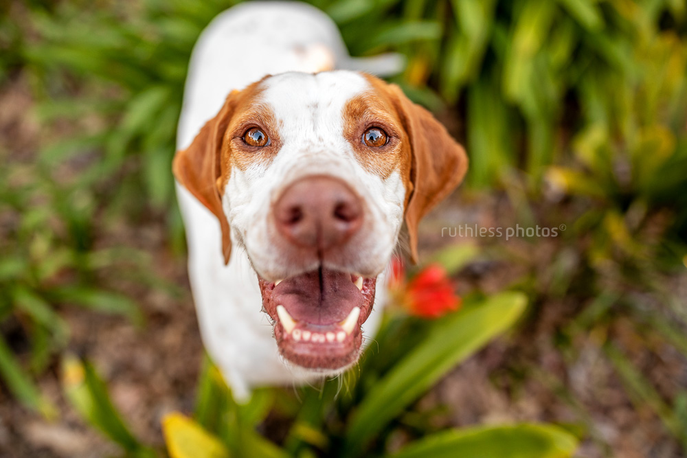happy english pointer dog from above