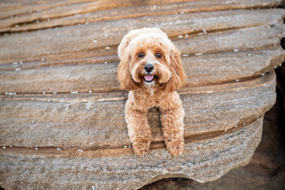 happy red toy cavoodle dog lying on rocks at beach