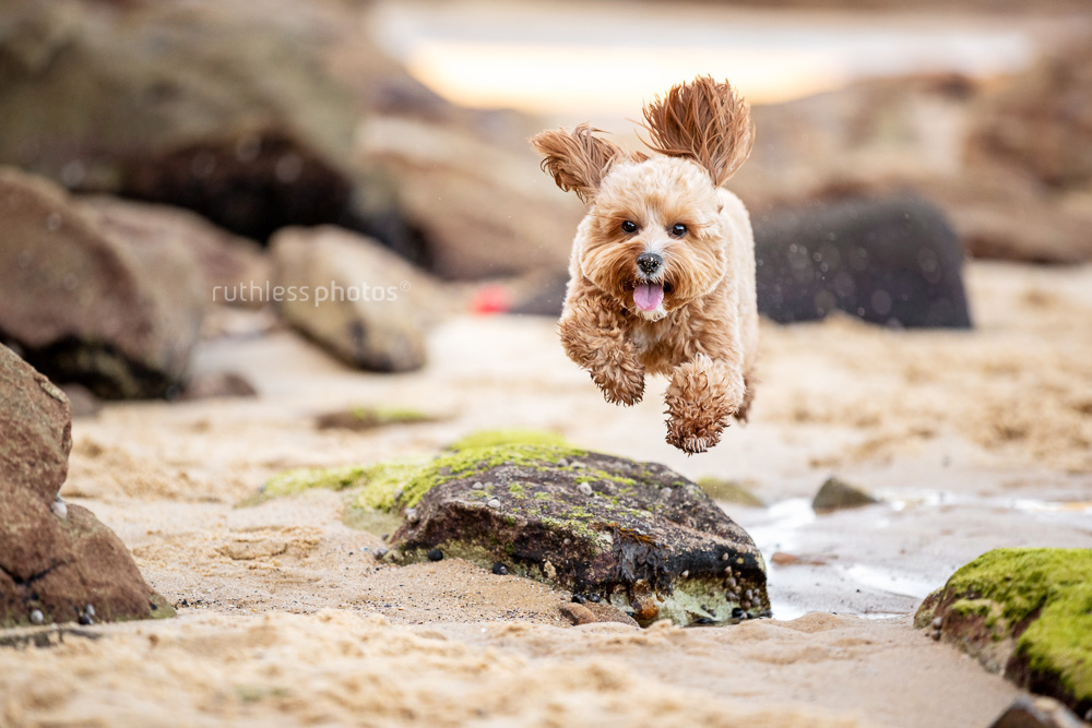 happy red toy cavoodle dog running across rocks at beach