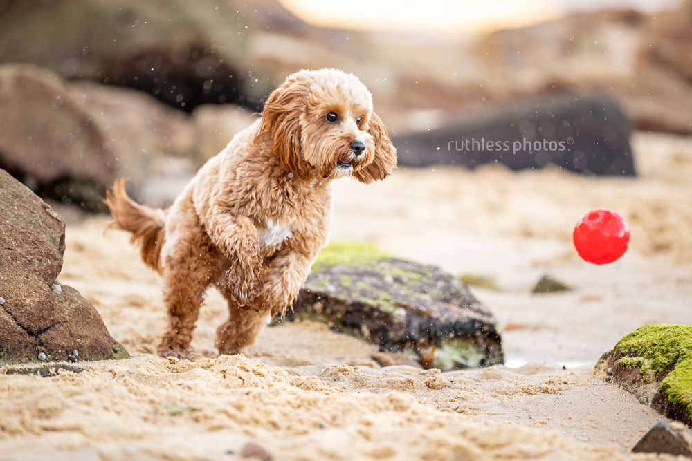 happy red toy cavoodle dog fetching red ball at beach