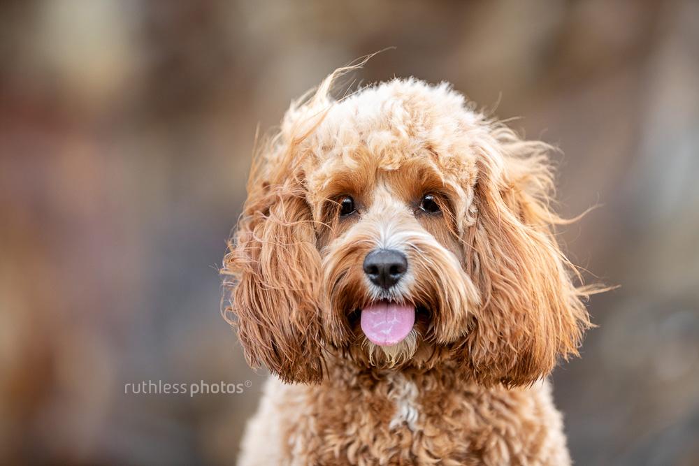 happy red toy cavoodle dog windswept headshot