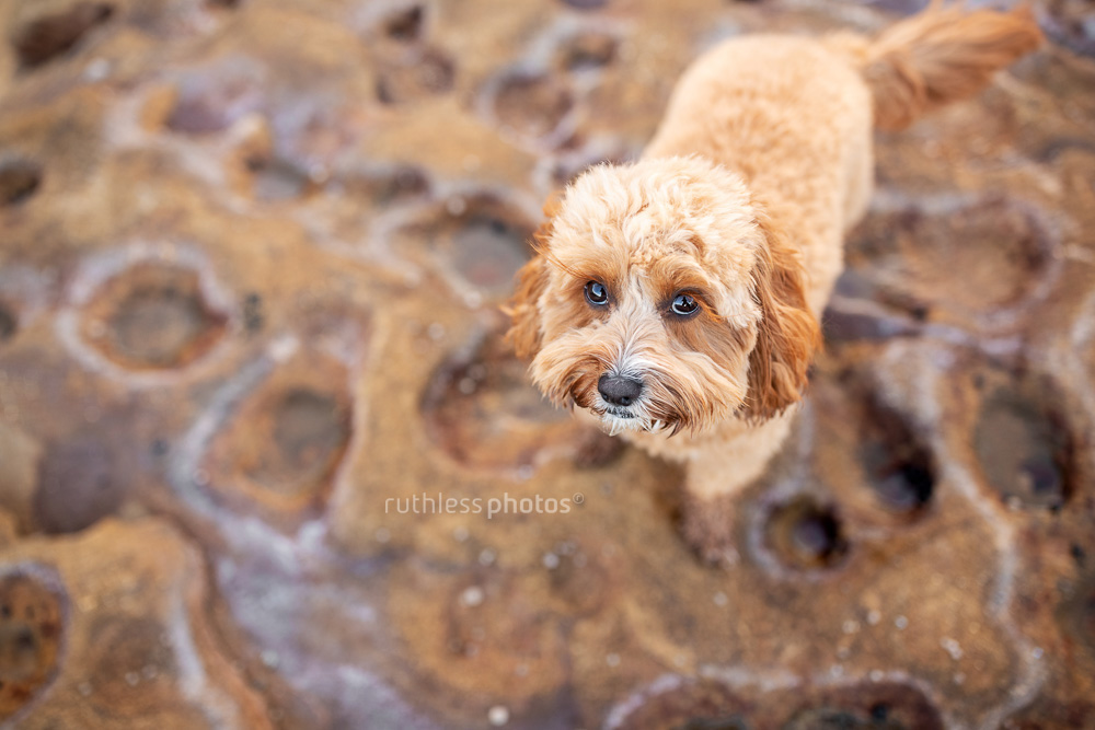 red toy cavoodle on rocks looking up with puppy dog eyes
