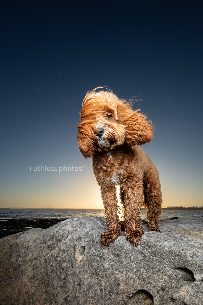 windswept red toy cavoodle dog standing on rock at sunset