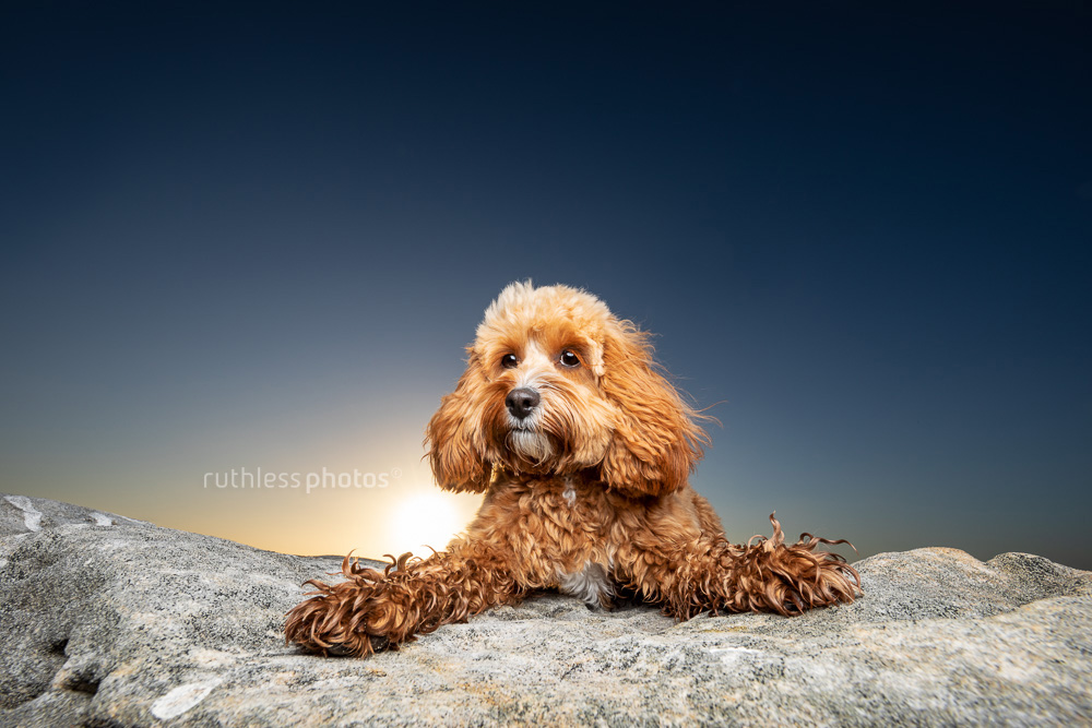 red toy cavoodle dog lying on rock at sunset