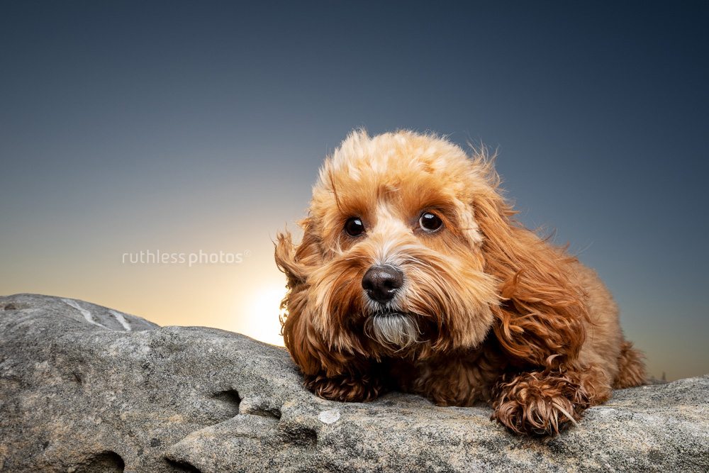 cute red toy cavoodle dog lying on rock at sunset