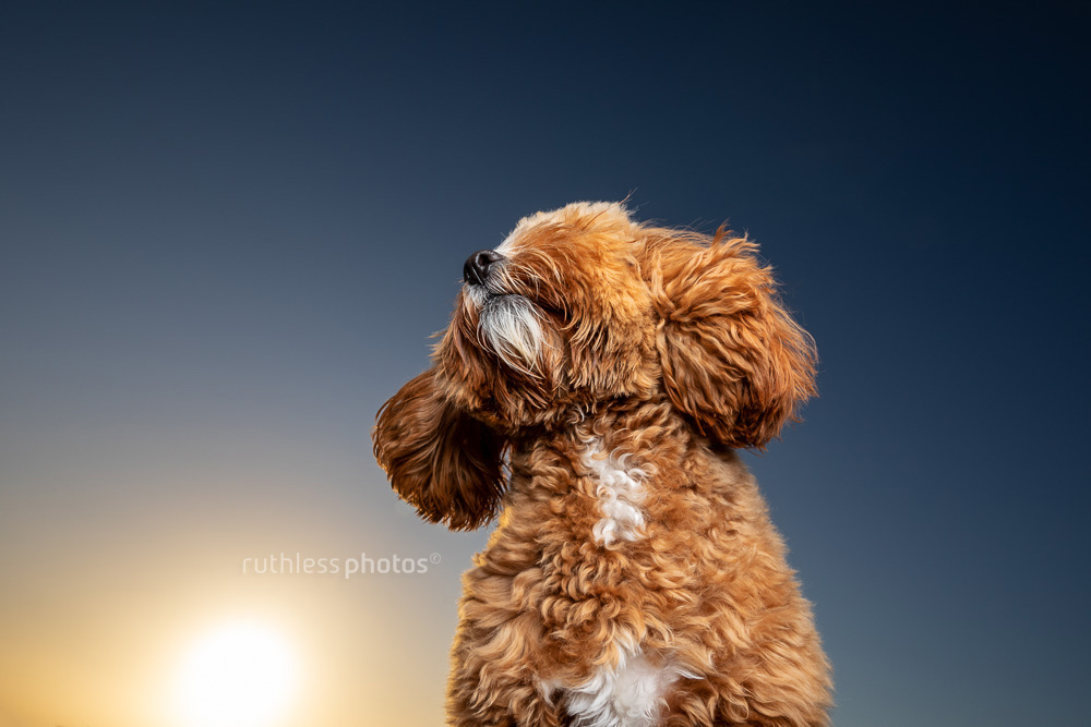 red toy cavoodle dog against sunny blue sky looking up