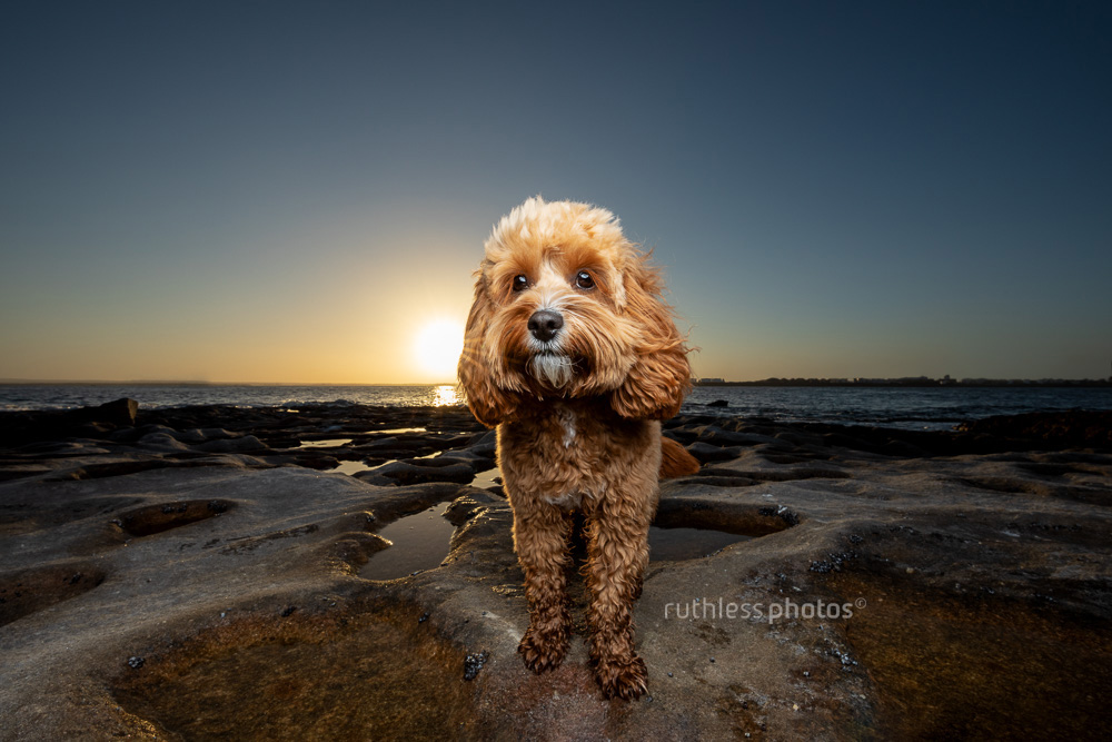 cute red toy cavoodle dog standing on rocks at sunset