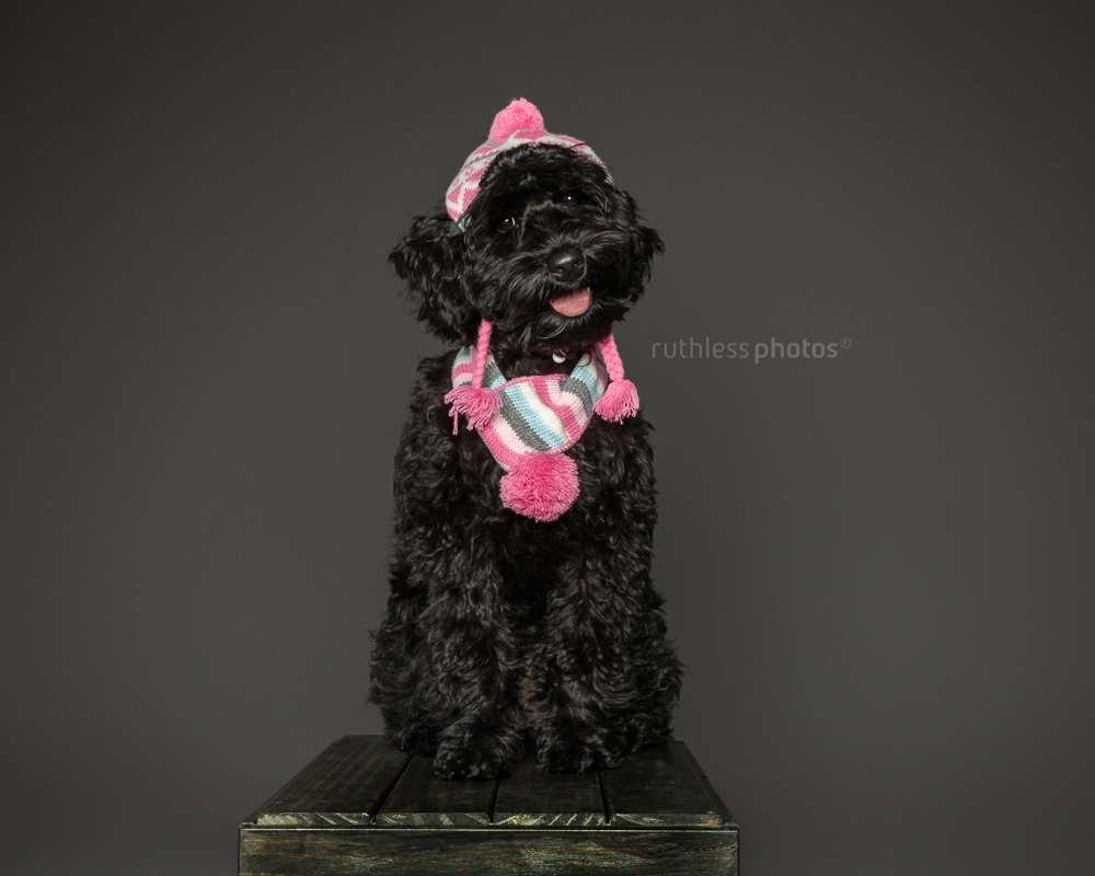 black tamaruke labradoodle puppy on wooden box wearing pink hat and scarf on grey background