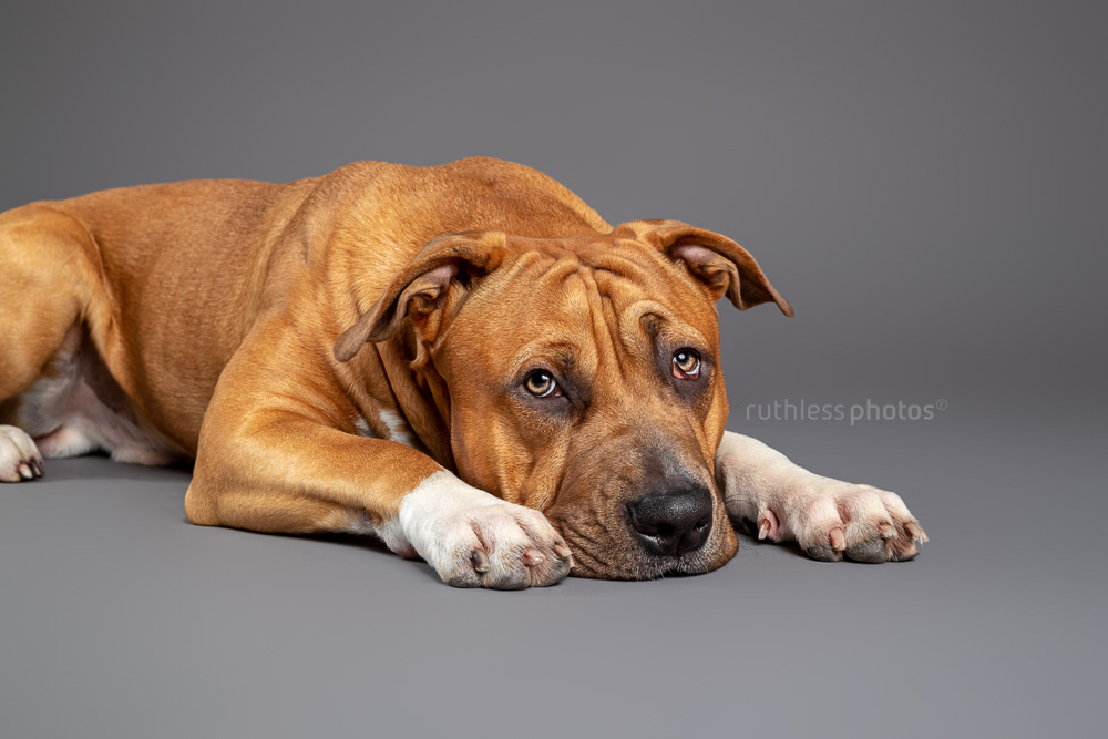 red pit bull laying with head on floor looking bored in studio on grey background