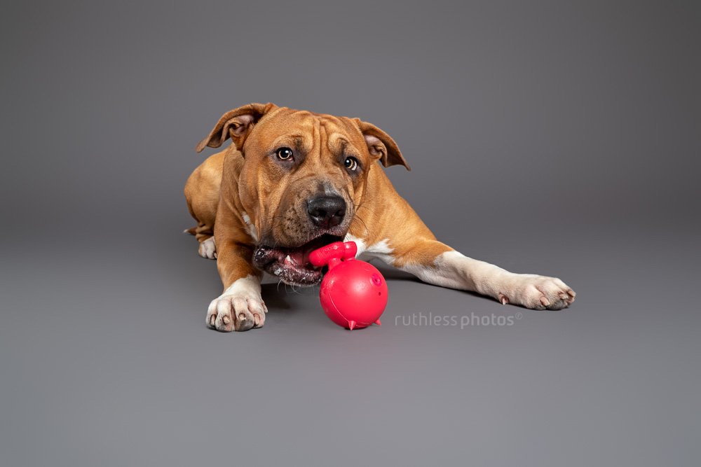 red pit bull chewing on red cuz toy in studio on grey background