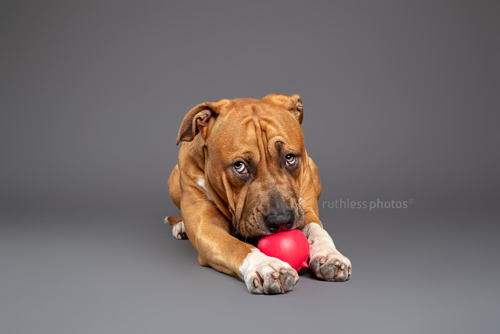 red pit bull chewing on red ball toy in studio on grey background