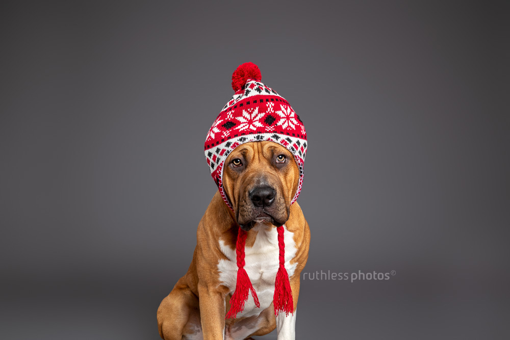 red pit bull wearing red winter hat in studio on grey background