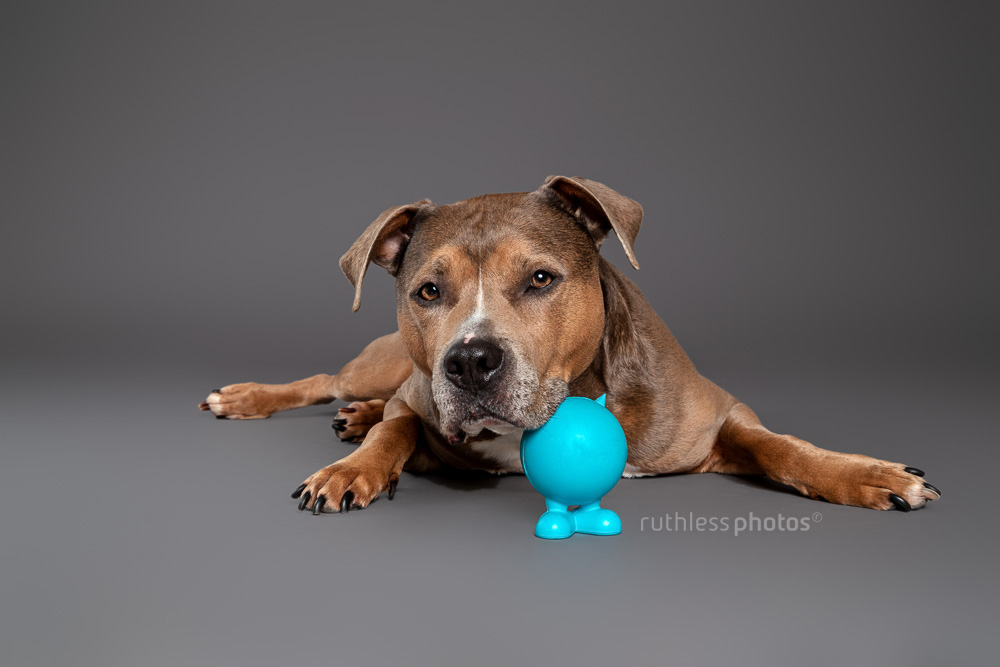 sable smut tricolour amstaff with blue toy laying on grey background in studio