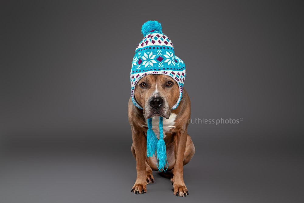 sable smut tricolour amstaff wearing blue winter hat on grey background in studio