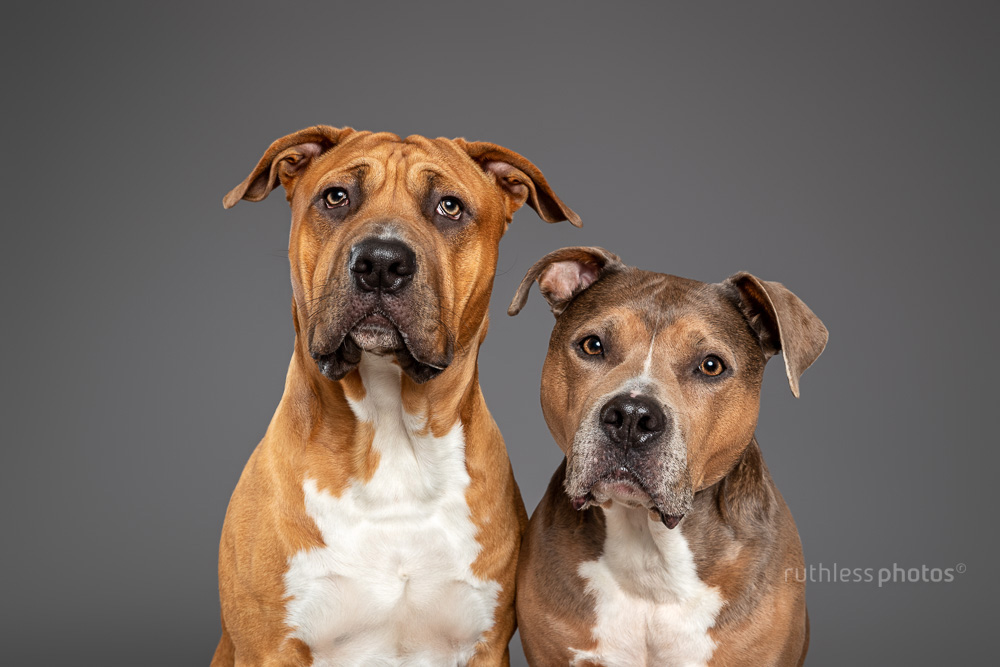 two pitbull type dogs sitting against a grey backdrop in studio