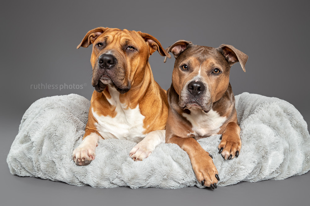 two pitbull type dogs lying in a grey bed on a grey backdrop in studio