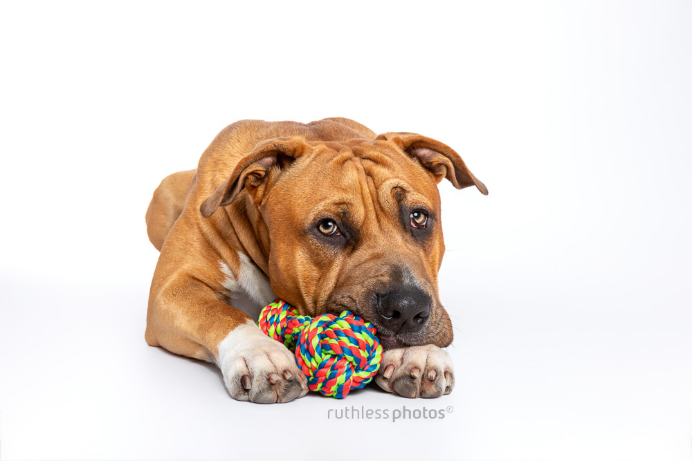 red pit bull type lying with head on rope toy on white