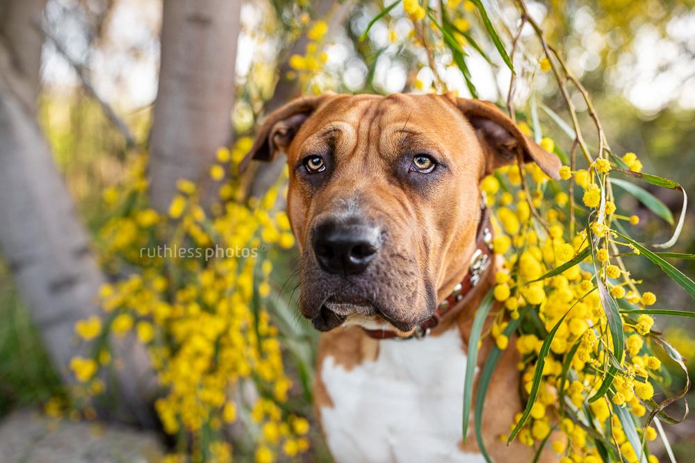 red dog under wattle tree branch 2