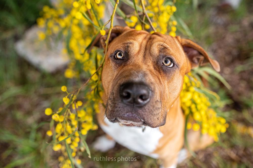 red dog under wattle tree branch