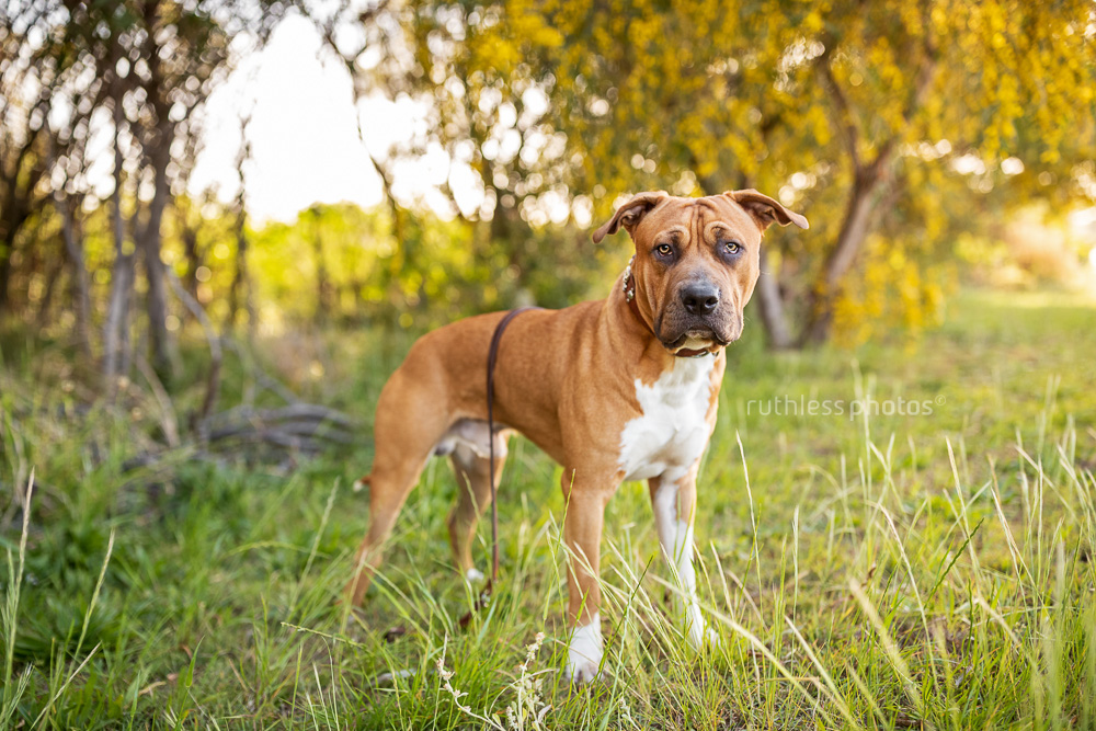 red pit bull type standing on grass in front of wattle tree