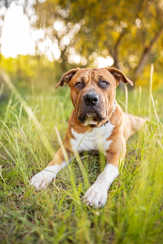 red pit bull type laying on grass in front of wattle tree