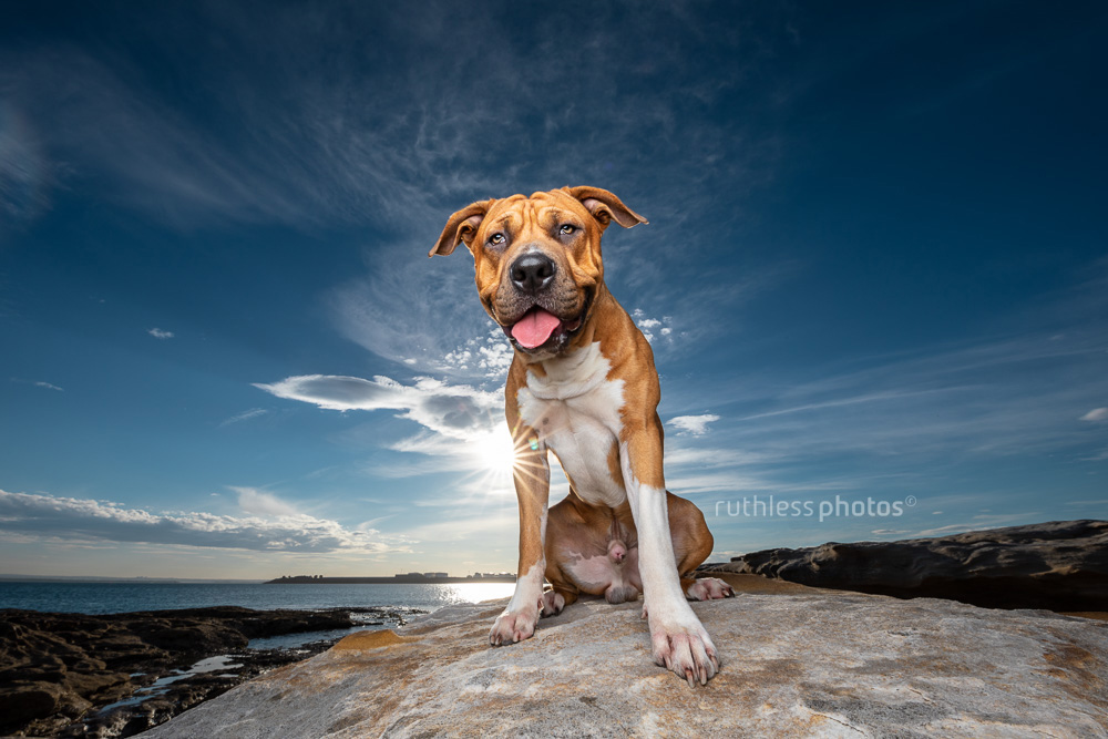 happy tan pitbull sitting on rock in front of blue sky wide angle
