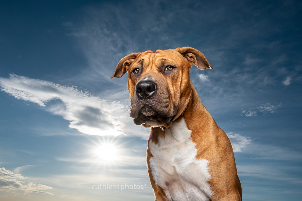 tan pitbull in front of blue sky wide angle
