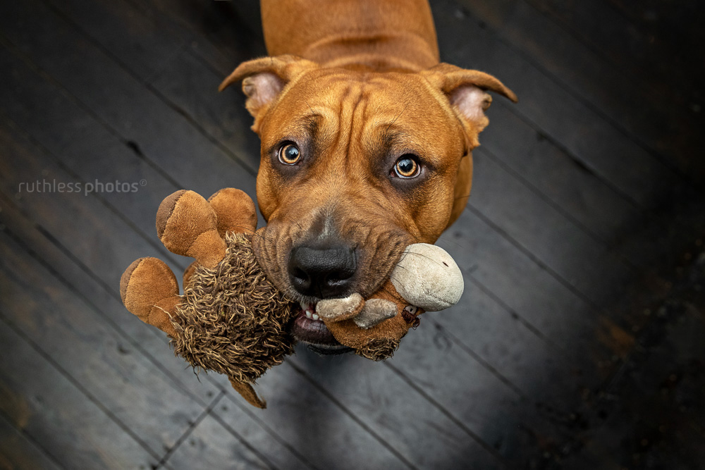red dog with stuffed toy in mouth